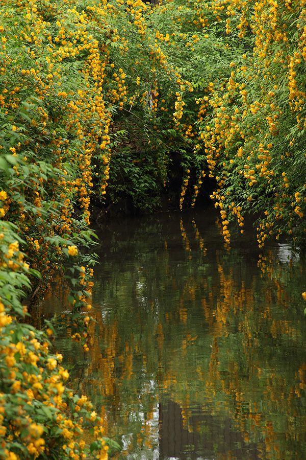 Kerria japonica at Matsuo-taisha, shinto sancuary near Arashiyama district, Kyoto by u-92san on d.hatena.ne.jp