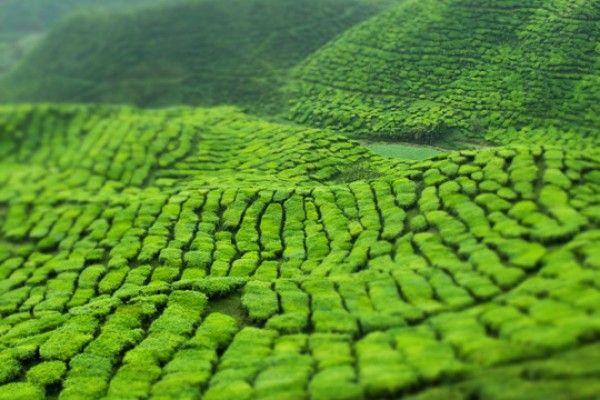 cameron highland in malaysia