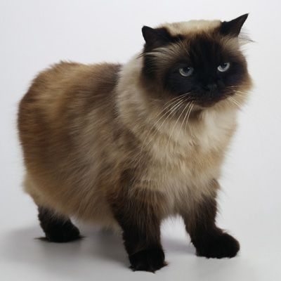 What are the different types of himalayan cats