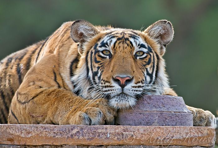 Andy Rouse photo of a spectacular looking Tiger