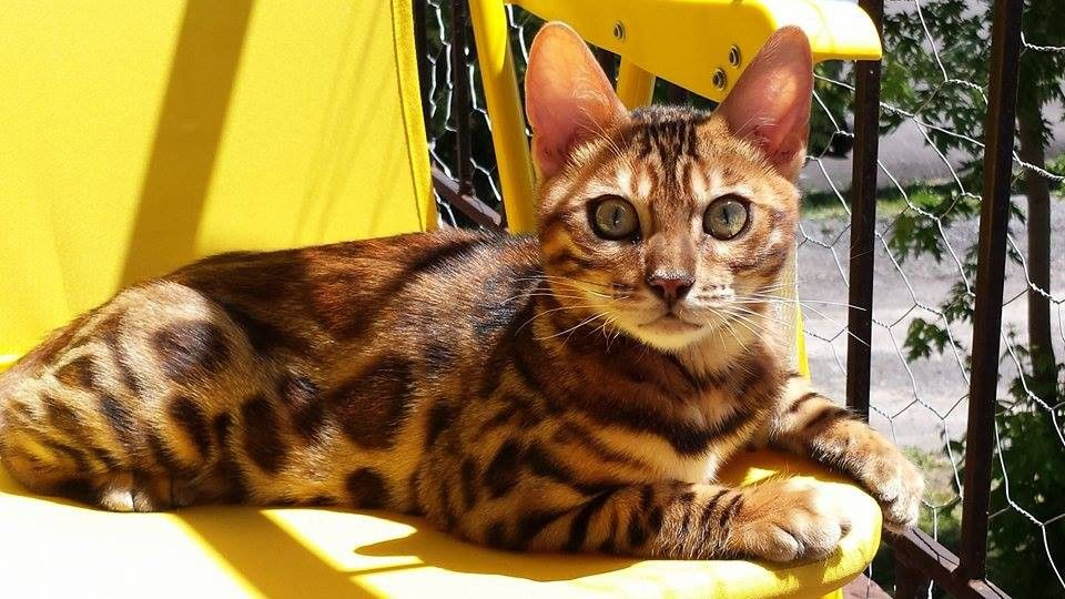 Bengal Kittens Breeders Near Me
