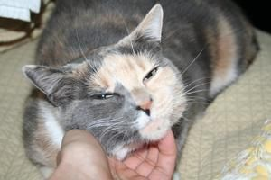 Urgent Carmen Rescue Closing Due To Move To Europe This Girl Needs A Home By Oct 1st Is An Adoptable Calico Cat Love Your Pet Animals Pet Adoption