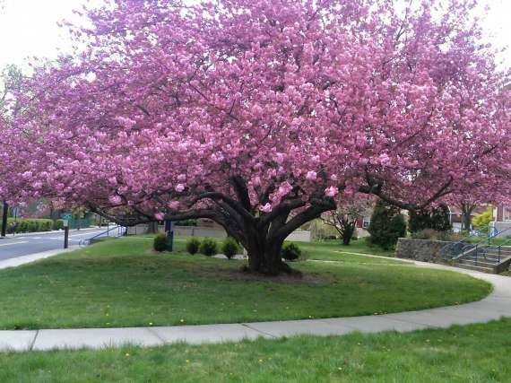 kwanzan cherry tree | Kwanzan cherry tree stands beautifully in front of the Roosevelt ...