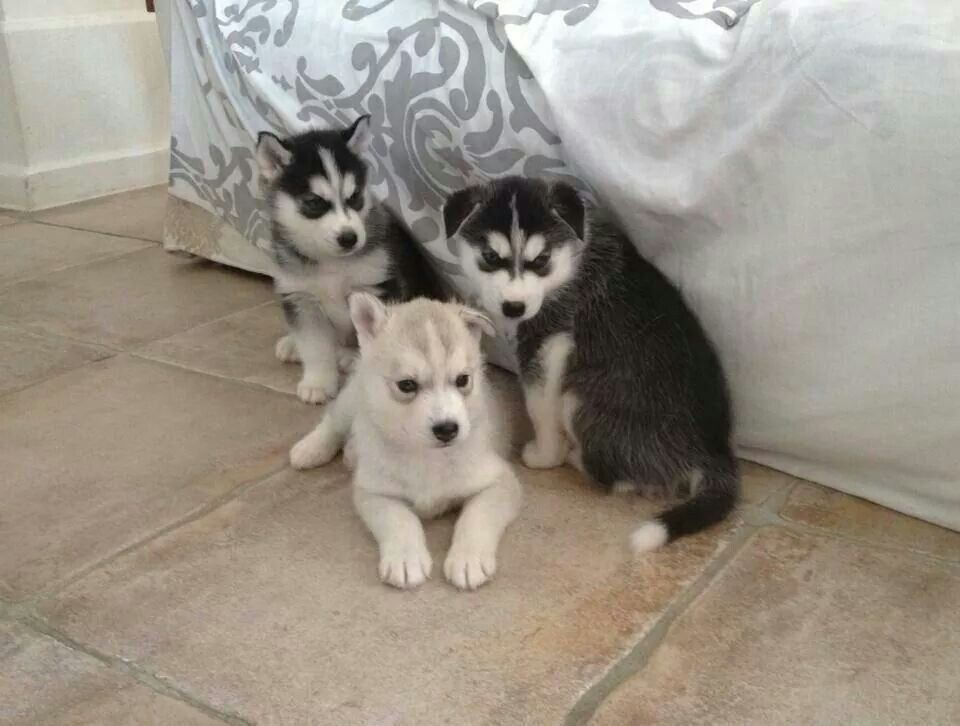 Aww. Husky puppies. I want them all!!
