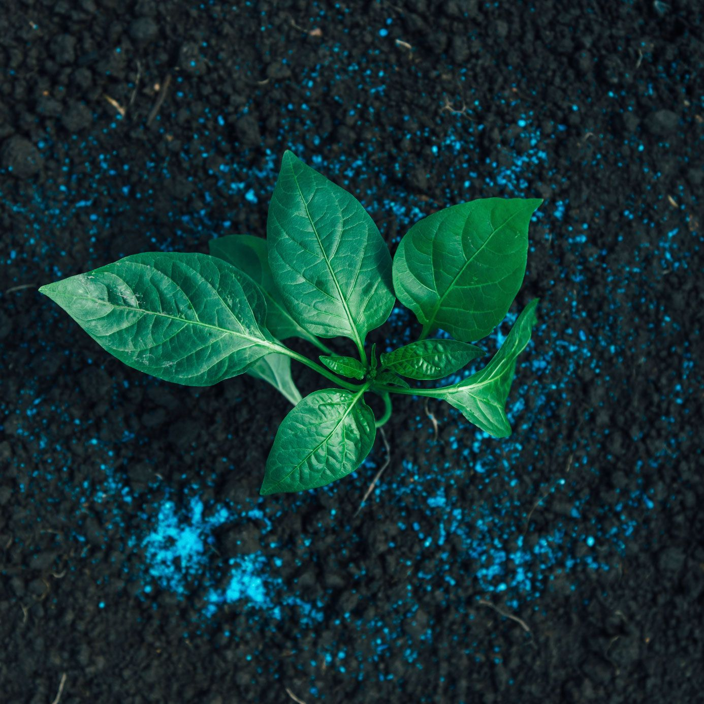 Pepper Fertilizer How And When To Fertilize Peppers 400 x 300