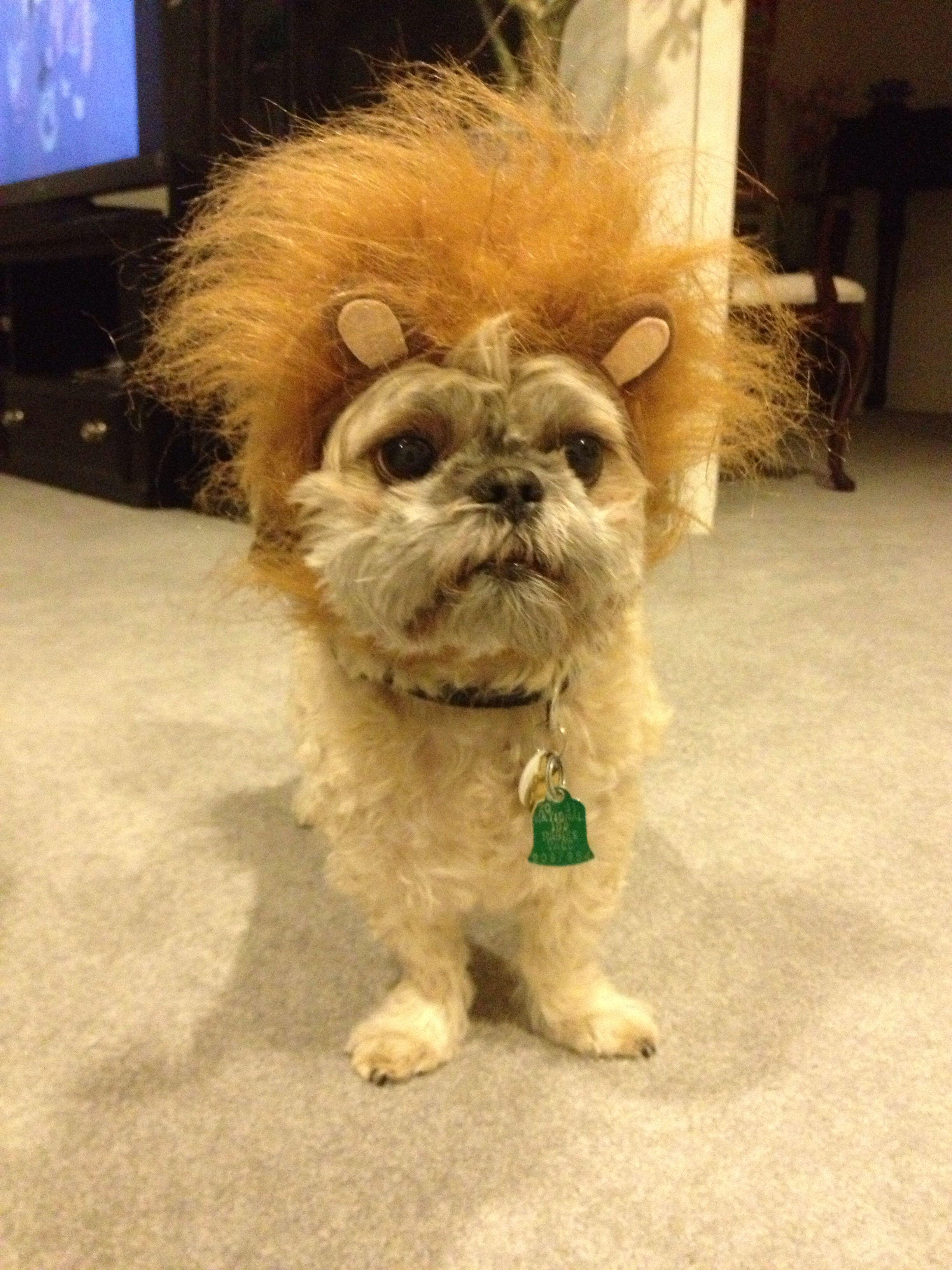 Shih Tzu Lion Costume Animals Lion Costume Shih Tzu