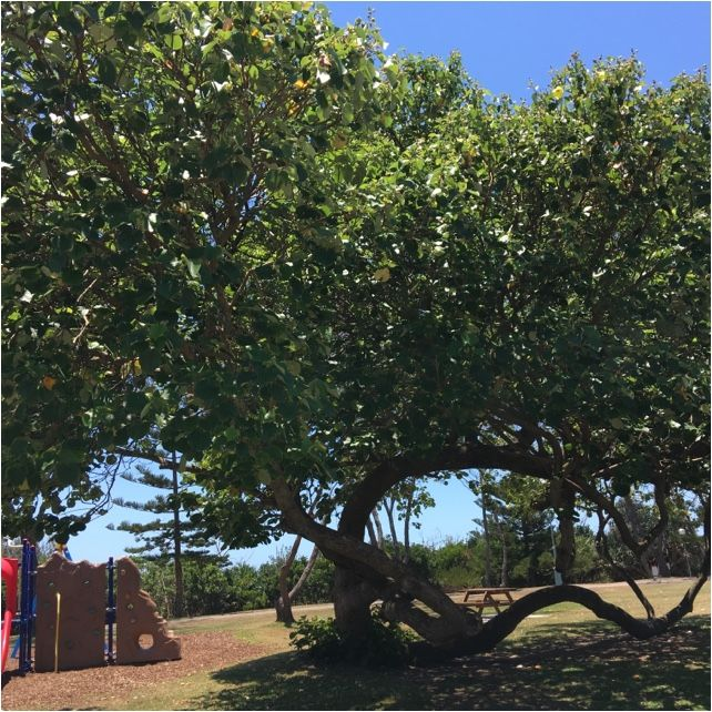 Beach Hibiscus Hibiscus Tiliaceus Hibiscus Tiliaceus Is A Species