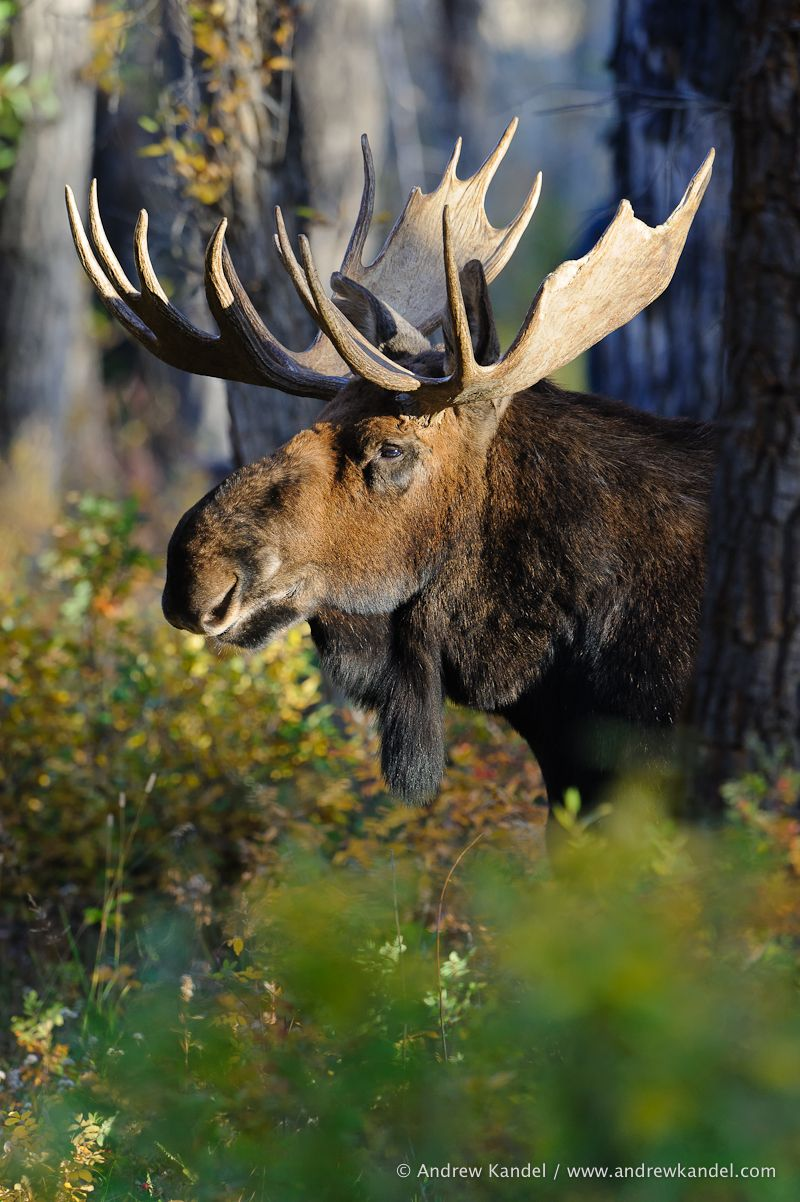 Bull Moose in Cottonwoods Moose, Buffalo and Animal