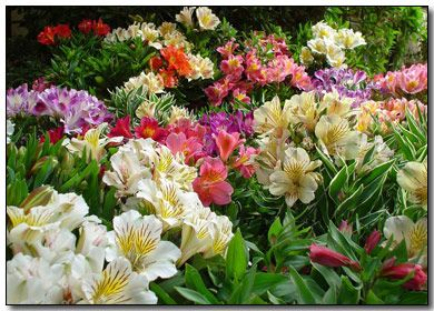 Love The Bright Colors And Lush Foliage Of The Alstroemeria Alstroemeria Alstroemeria Plants Beautiful Flowers