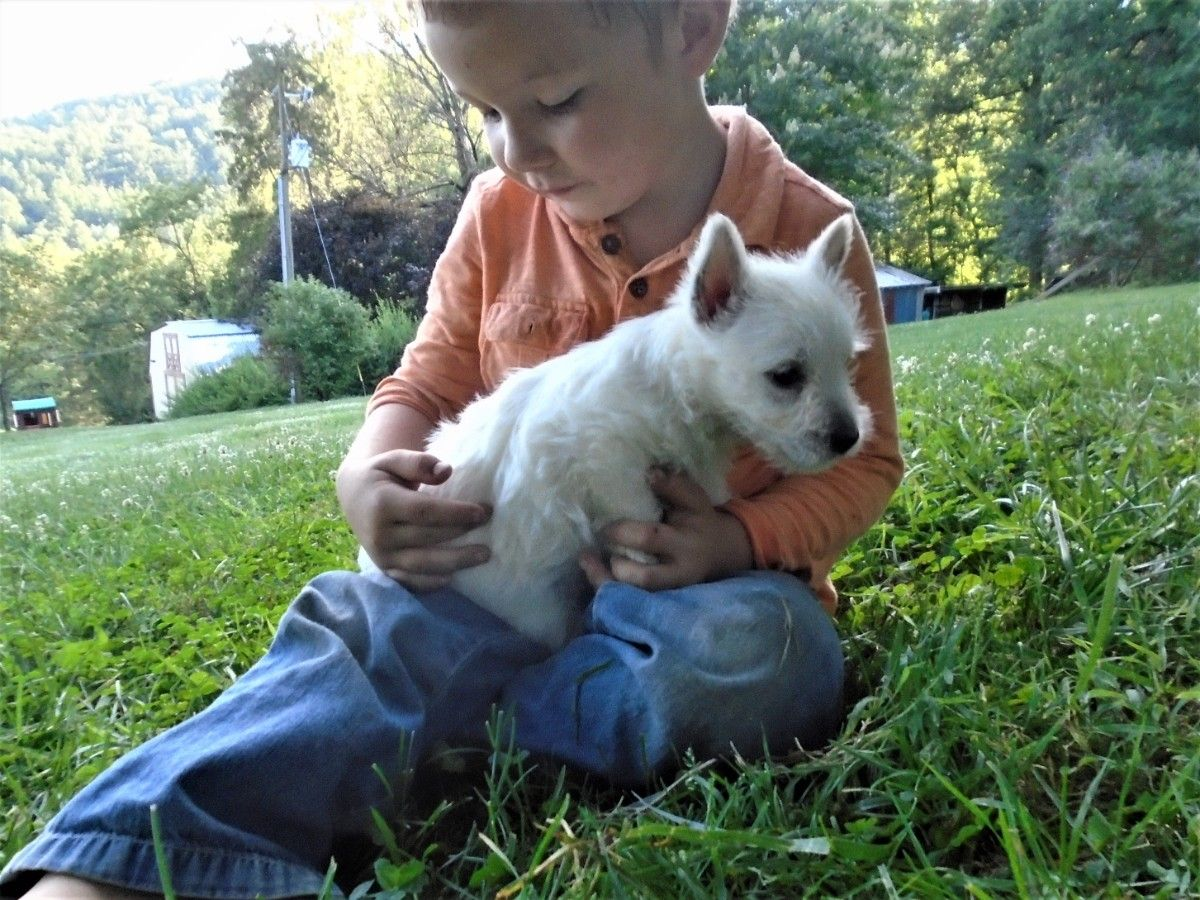 Puppies For Sale West Highland White Terrier Westie Westie F Category In Free Union Virg In 2020 Puppies For Sale White Terrier West Highland White Terrier