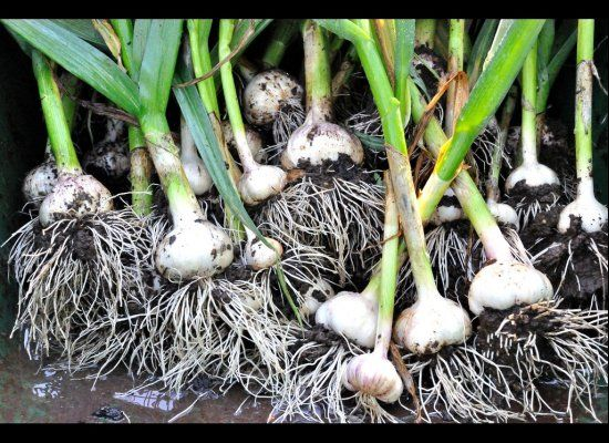 Give leftover garlic cloves new life by planting them point up under an inch or two of soil. The plants are easy to maintain, requiring minimal water and lots of sunlight. Plant them in the fall to have a crop ready to go by summer.