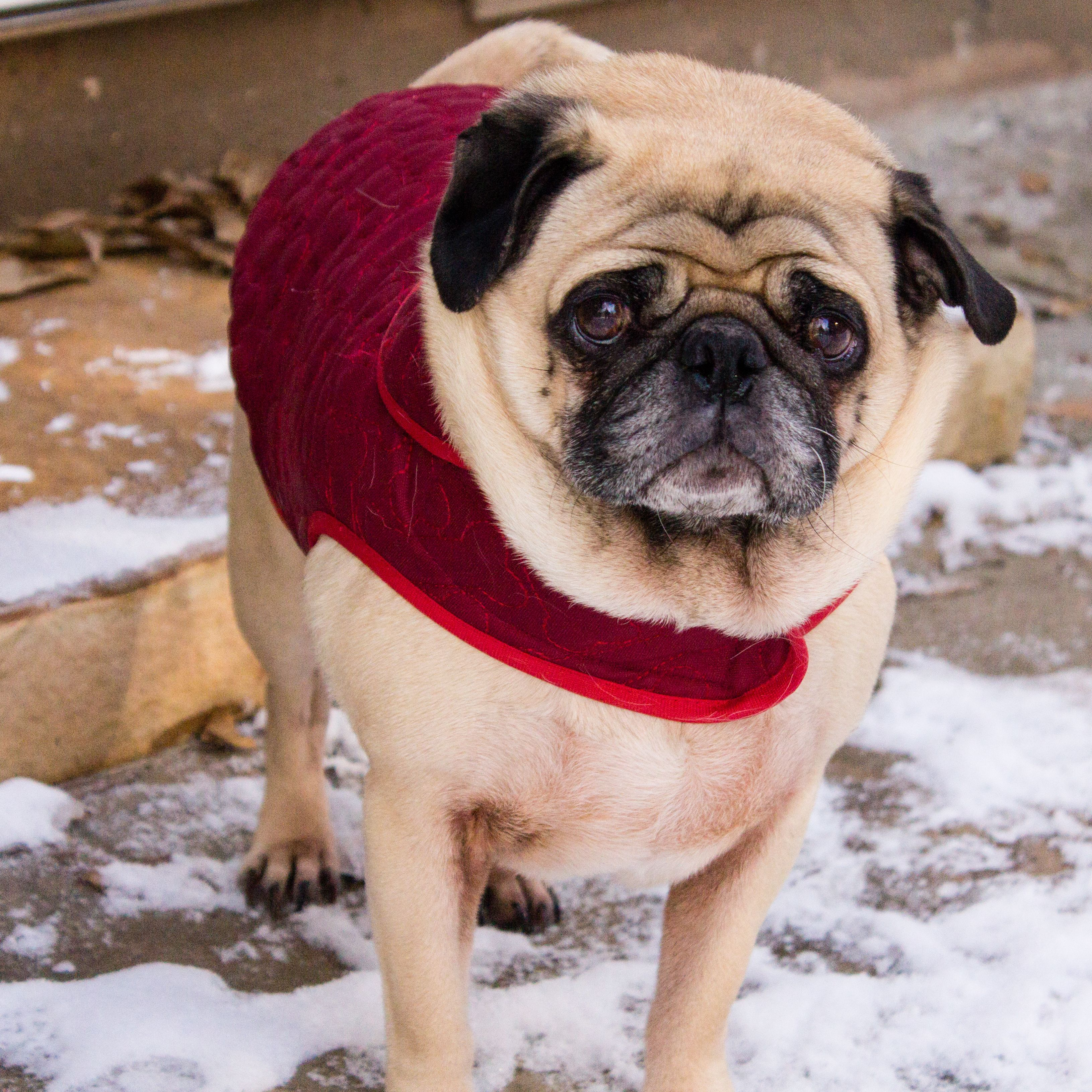 Pug Eyes Warmth In The Cold By Mandy Loriot Photography Atlanta
