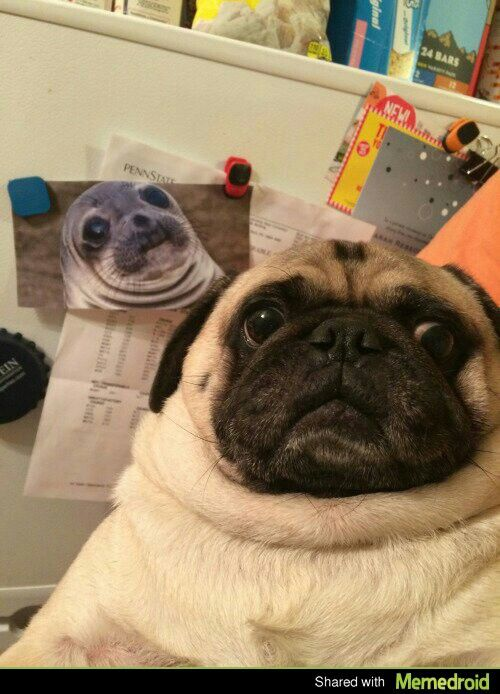 This Will Never Not Be Funny Pugs Pugs Funny Cute Pugs