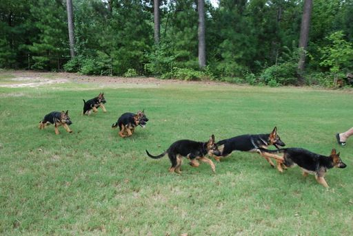 Litter Of 7 German Shepherd Dog Puppies For Sale In Monticello Ga