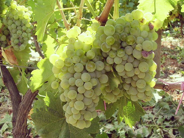 VIOSINHO Wijnstokken, Fruit