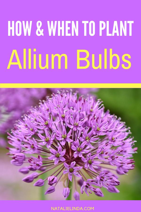 How To Grow Alliums In Your Garden Natalie Linda Flowers Perennials Fall Garden Vegetables Allium Flowers