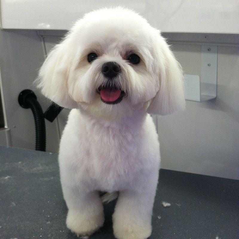 Teddy Maltipoo After 3 Jpg 800 800 Maltipoo Haircuts Dog Grooming Styles Dog Haircuts
