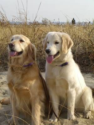 Breed Of The Week The Gregarious Golden Retriever Dog Cancer