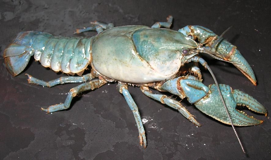 Blue Crayfish 'Cambarus (Lacunicambarus) diogenes'  Found and photographed by Dale Westaby USA