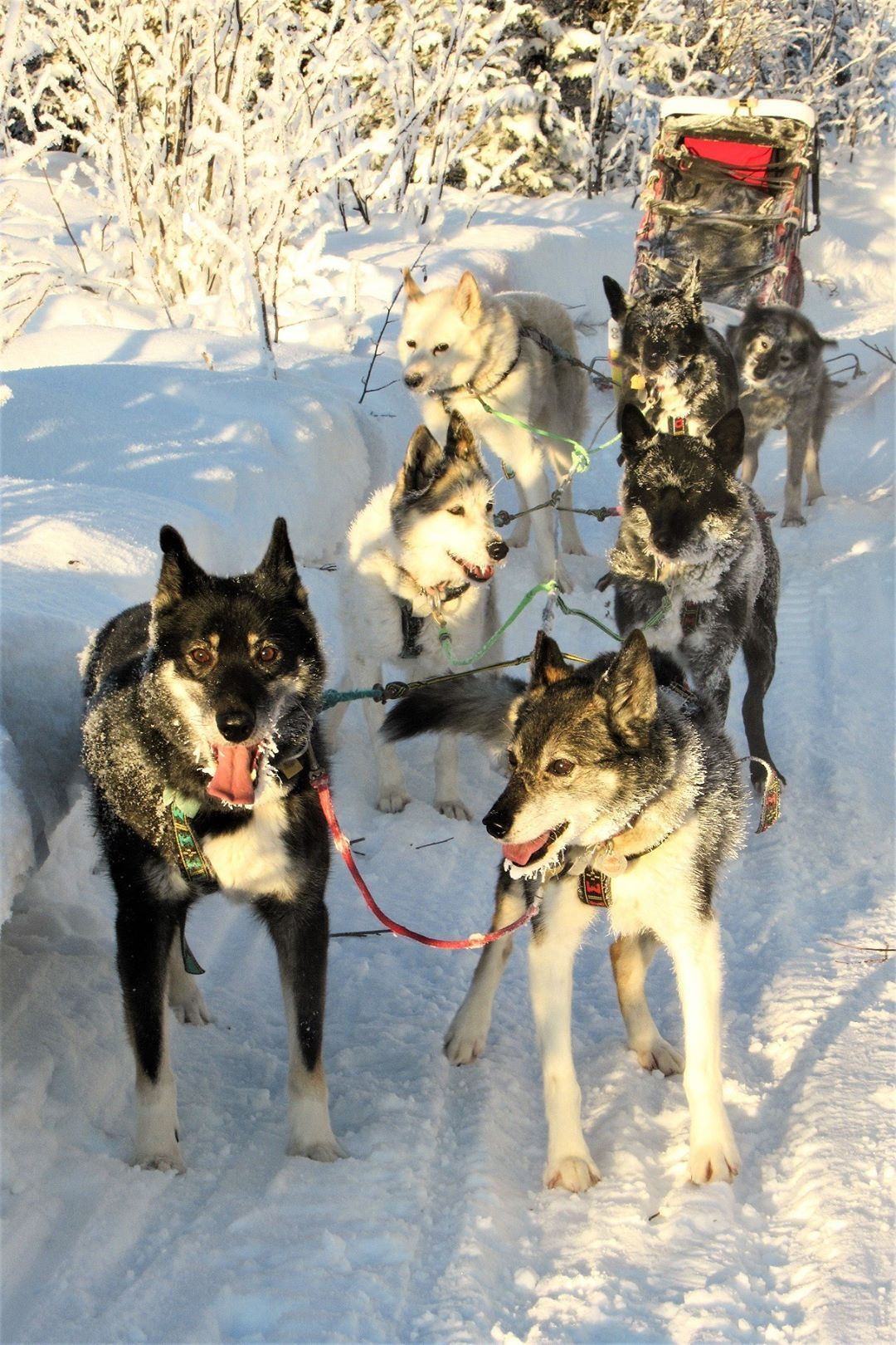From The Odaroloc Sled Dogs Mr Bp Our Tripawd Sled Dog Running
