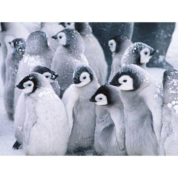 Cute Arctic Penguins