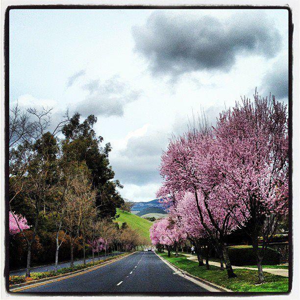 Cherry Trees Cover The Streets Of San Ramon Ca San Ramon Scenery Country Roads