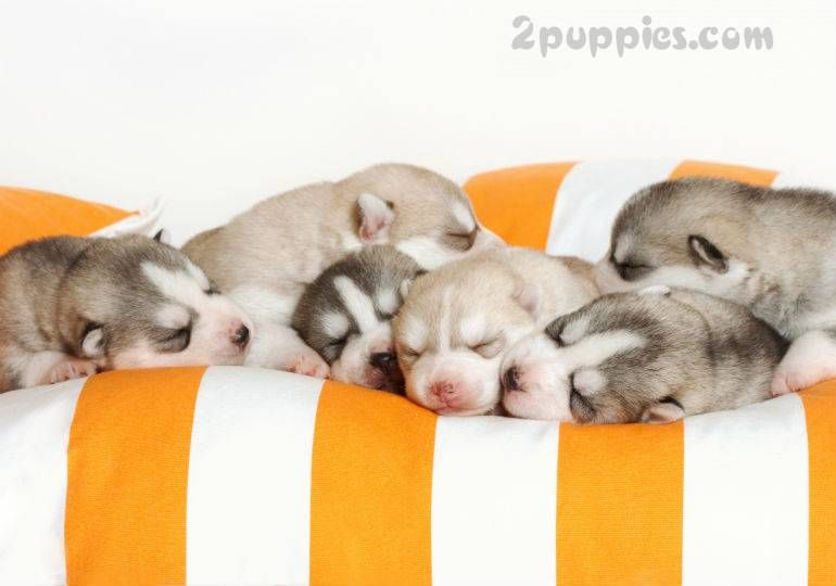 How To Find A Responsible Dog Breeder Newborn Puppies Pregnant