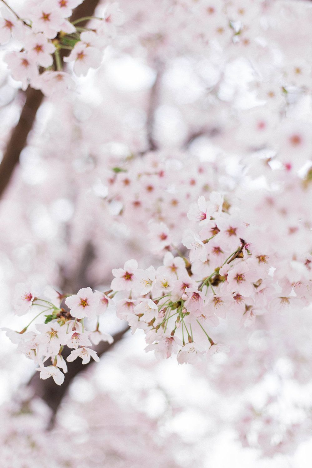 Where To See Cherry Blossoms In South Korea On The Street Where We Live Cherry Blossom Wallpaper Korea Wallpaper Cherry Blossom Flowers