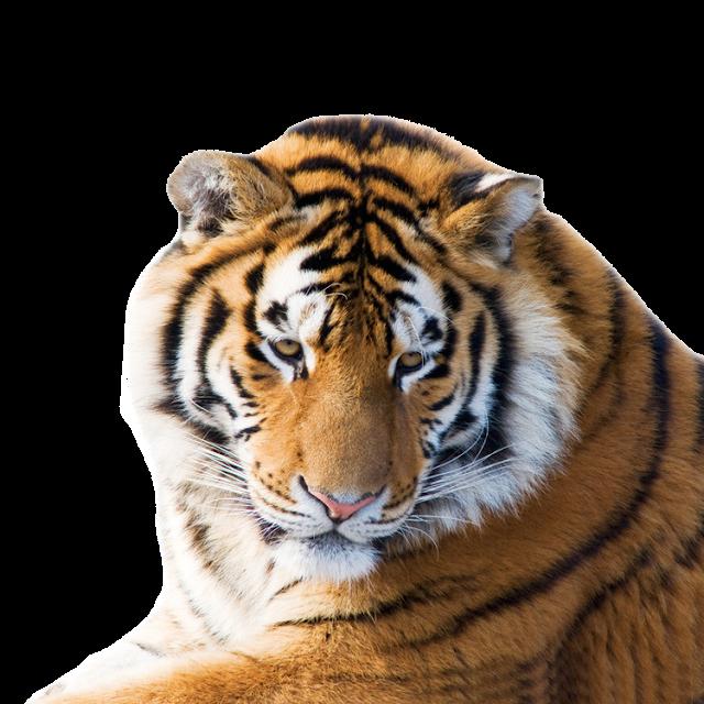 Tiger Png For Photoshop Tiger Free Png Images Tiger Siberian Tiger White Tiger