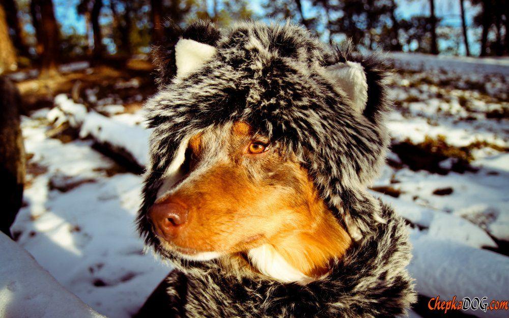 Dingo en ropas foto