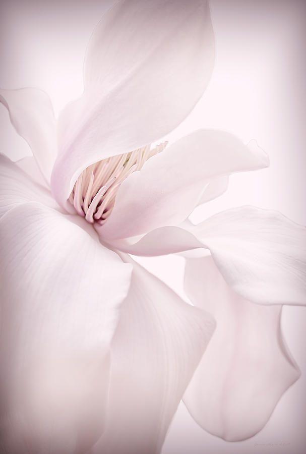 Magnolia Flower Blossom Soft Pink Photograph