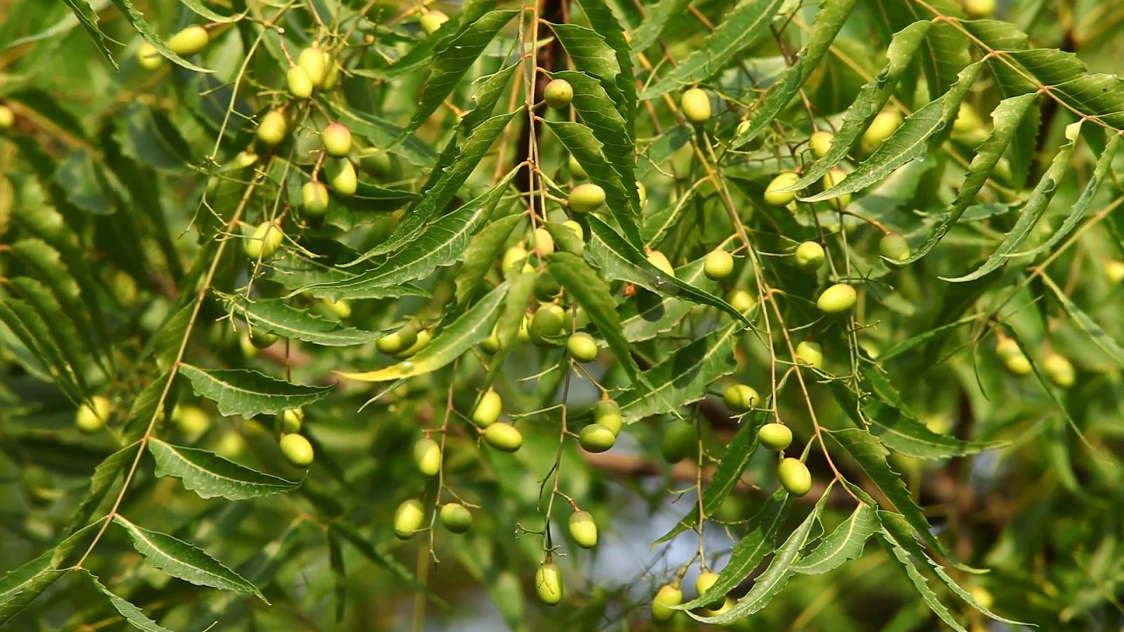 Neem 20 Health Benefits One Tree Pharmacy Neem Azadirachta Indica Plants