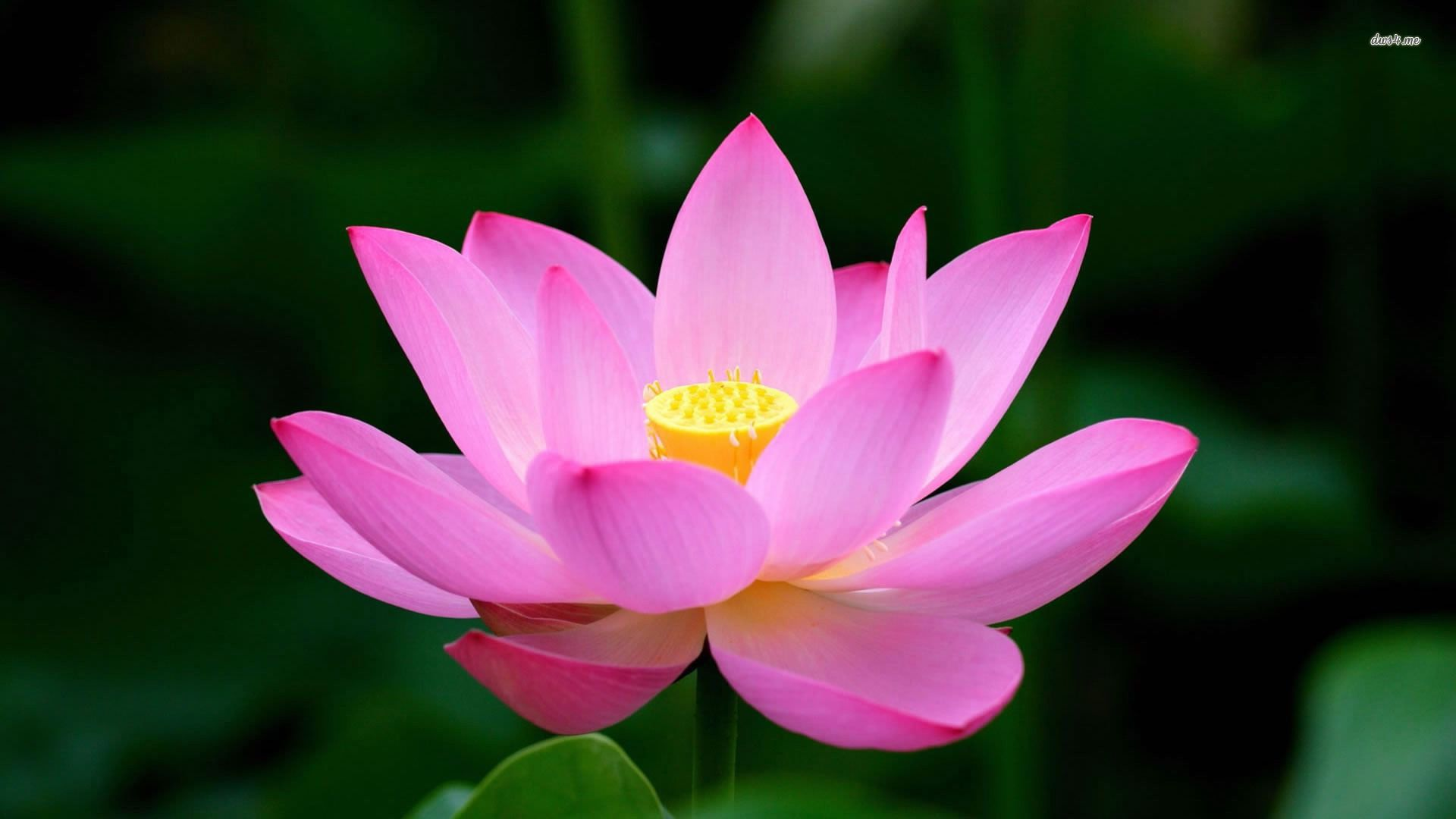 Purple lotus flower wallpapers phone natures wallpapers pinterest lotus flower wallpaper - Fleur de lotus symbole ...