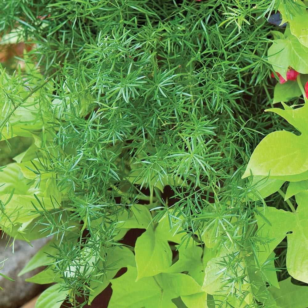 Tower Of Flowers Annual Collection Asparagus Fern White Flower Farm Hardy Plants