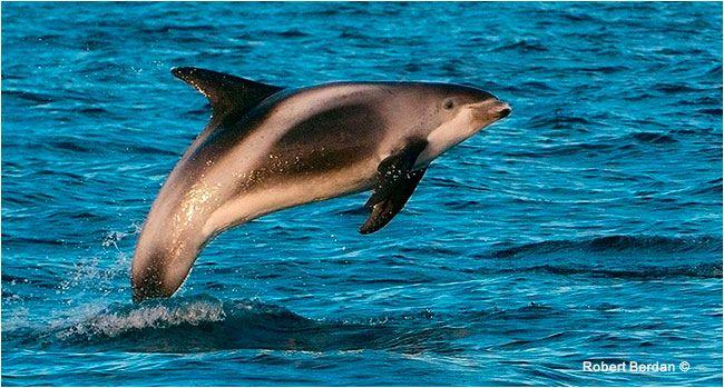 6316ecf30645 White beaked dolphin