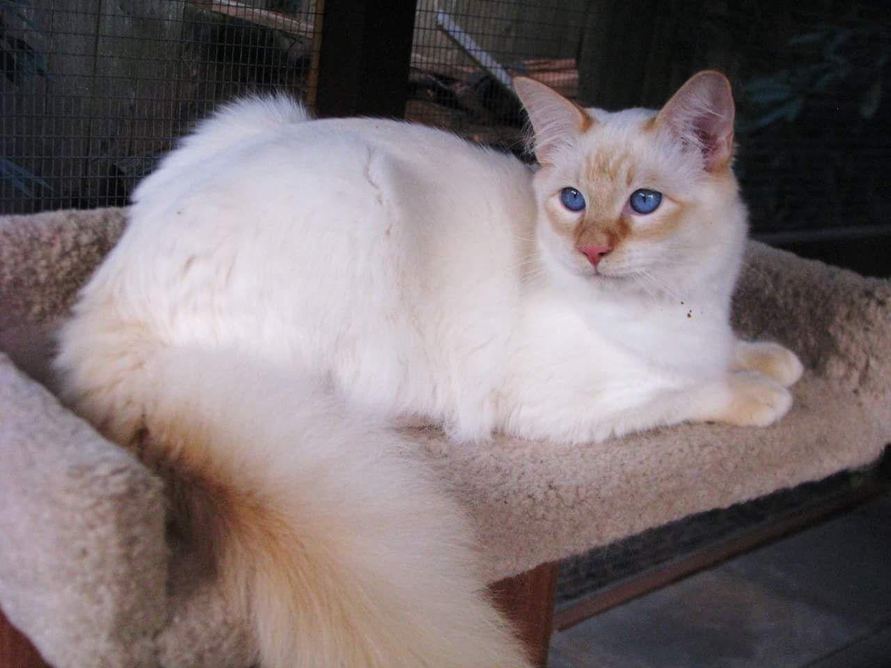 Balinese Hypoallergenic Cat Hypoallergenic Cats Cats Kittens