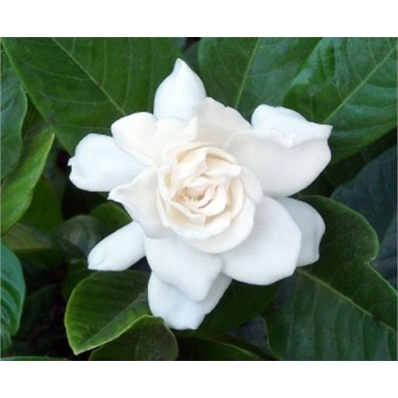 Find 140mm Gardenia Augusta 39 Magnifica At Bunnings Warehouse Visit Your Local For The Widest Range Of Garden Products