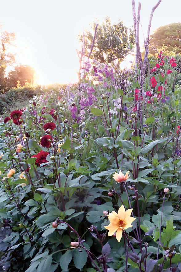 Late fall in the vegetable and cutting garden with sweet peas and dahlias. (Photo: Carlotta Cardana)