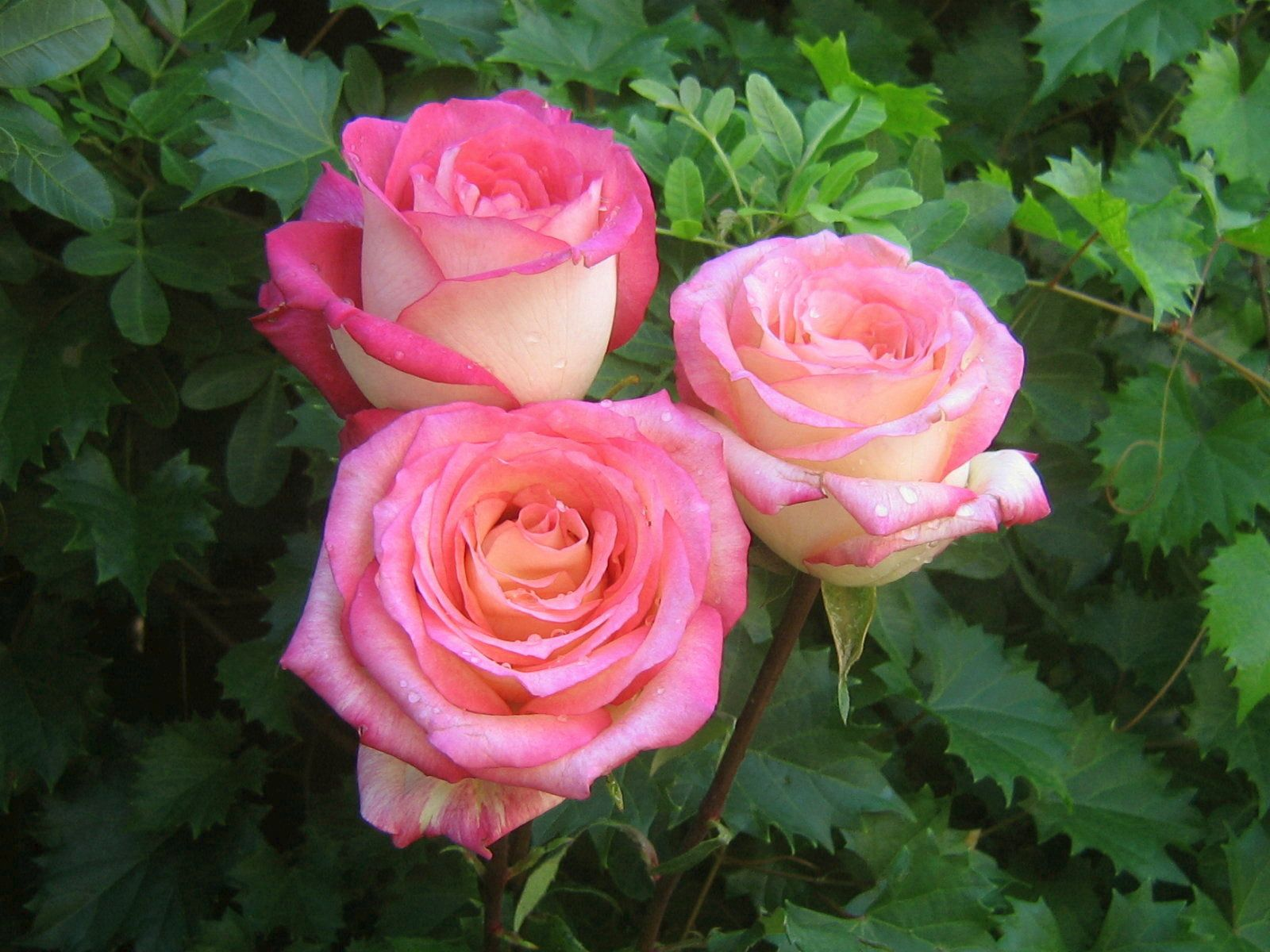 Pink Roses Wallpapers Beautiful pink roses, Rose bouquet
