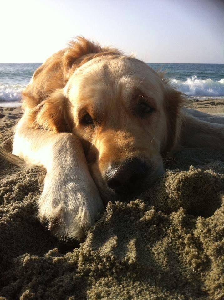 Golden Retriever On The Beach Laying Down In The Sand Puppies