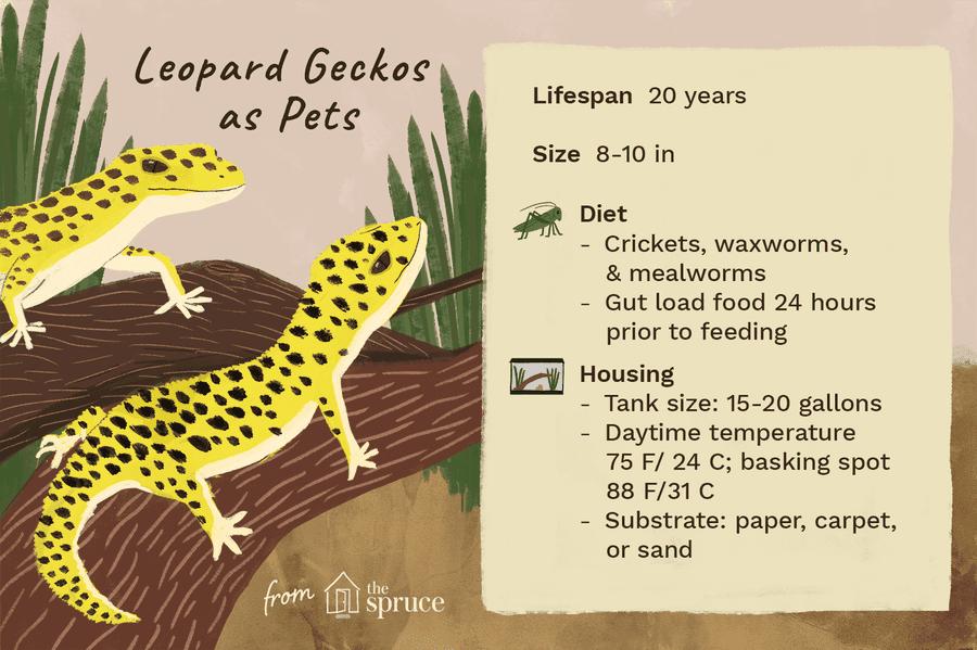 Illustration Of Leopard Geckos As Pets Leopard Gecko Habitat Leopard Gecko Gecko Habitat