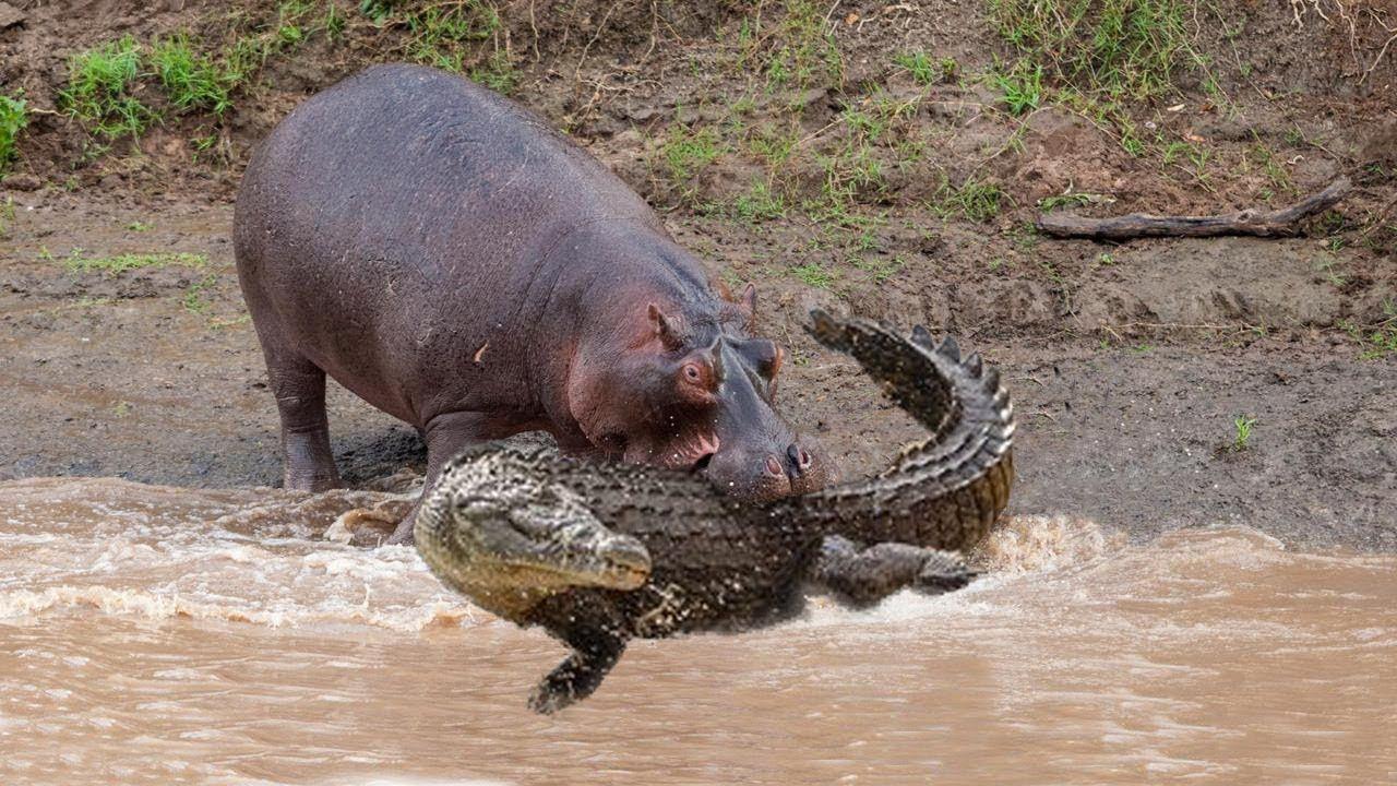 Amazing Hippo Rescue Zebra From Crocodile Hunting Animals Save