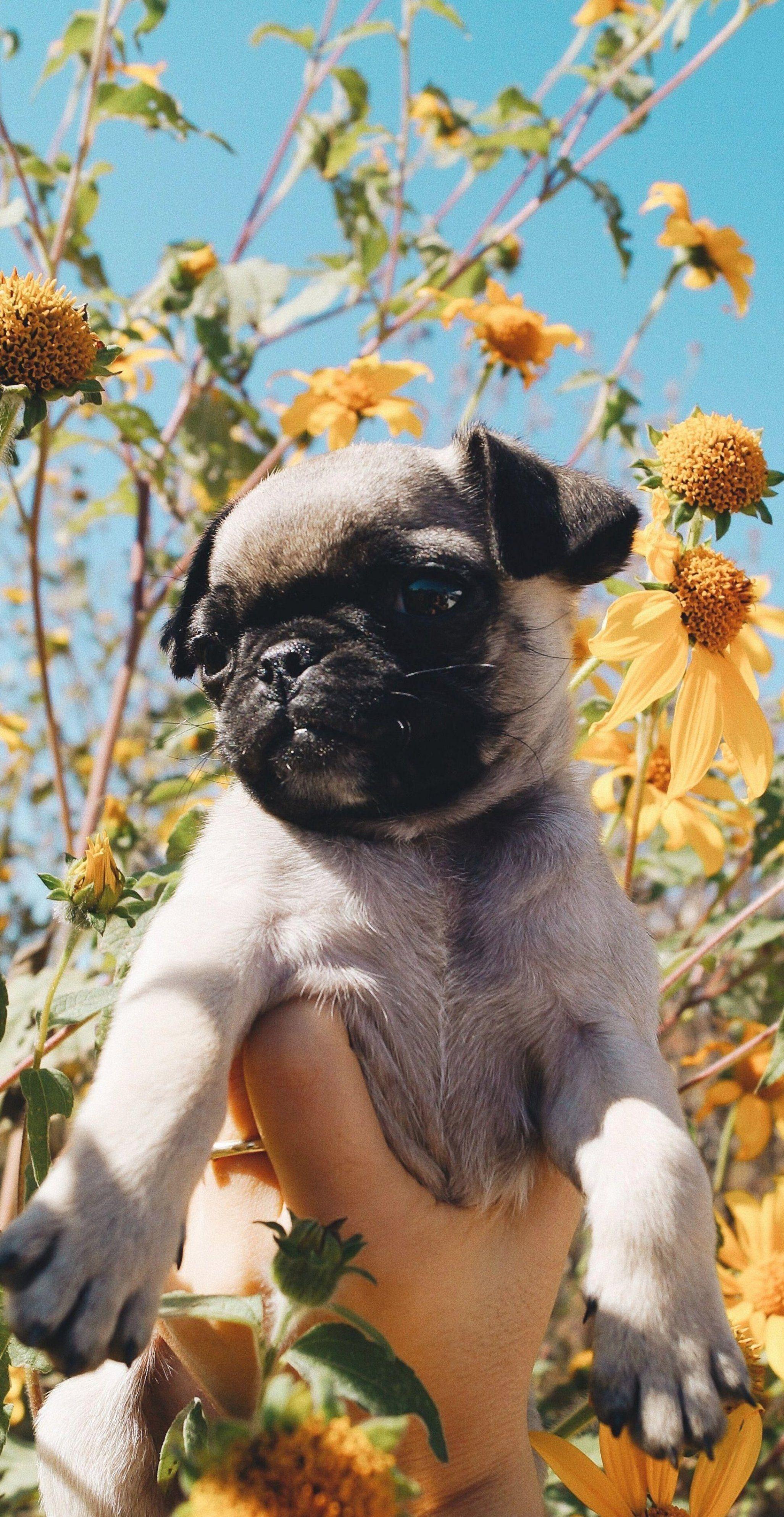 Pin By Amanda Cerutti On Pug Wallpaper Screensaver Baby Pugs Cute Pug Puppies Cute Pugs