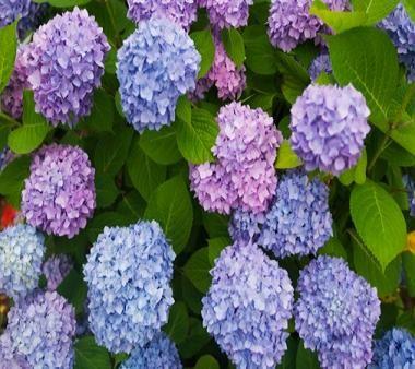 How to identify evergreen shrubs hydrangeas blue for Purple flowering shrubs identification