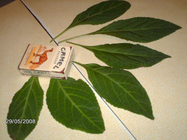 Salvia divinorum leaves. buysalviadivinorumplant.com   Gardening ...