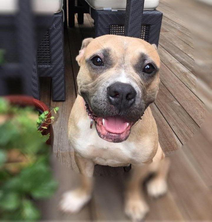 Adopt Puppy Poppy On Pitbull Terrier American Pitbull Terrier Puppy Adoption