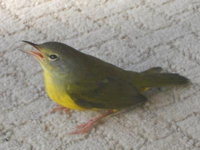 Please Help Identify Warbler Minnesota Birds Pretty Birds Bird Identification