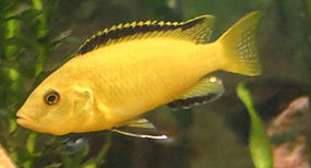 Mbuna Cichlids An Electric Yellow Cichlid Labidochromis Caeruleus Cichlids Aquarium Fish Cichlid Aquarium