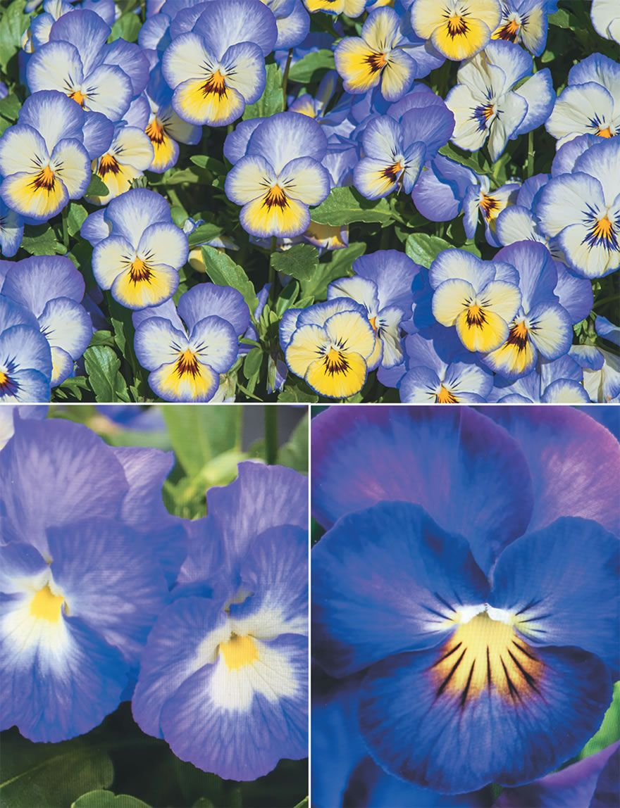 Viola Halo Series Are All New Perennial Violas With Large Fragrant