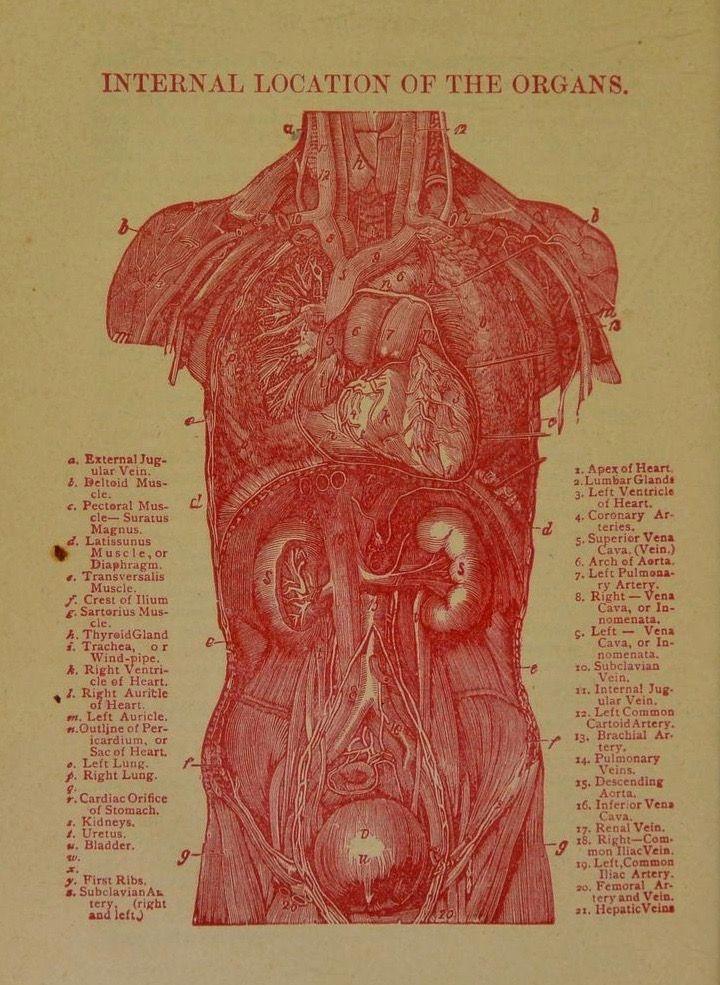 Lamina sobre los órganos internos del Dr. Chase (1901) | Ephemera ...